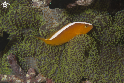 A Orange anemonefish