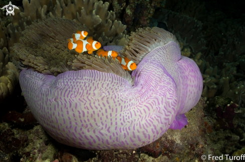 A False clown anemonefish