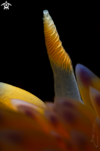 A Gas Flame Nudibranch rhinophore