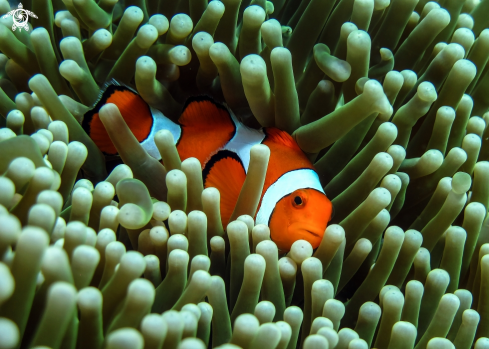 A Clown fish