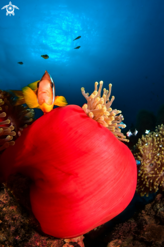 A Clown Fish in the Anemona
