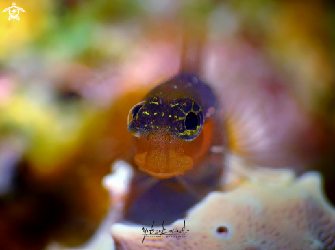 A Bicolour Blenny (Ecsenius bicolor) | Blenny Fish