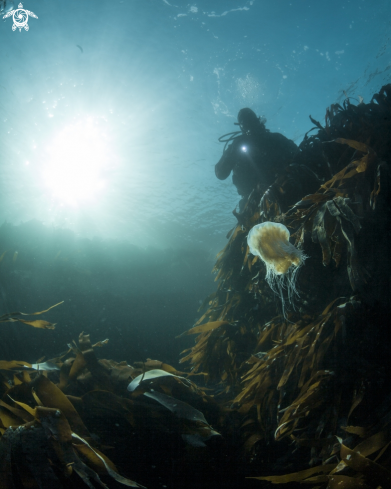 A Lions mane jelly, kelp and human