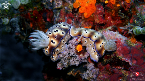 A Nudibranch with Emperor Shrimp
