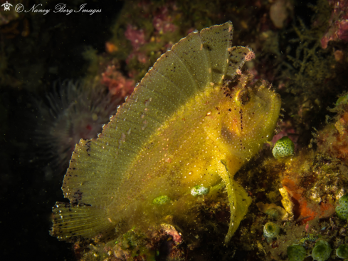 A Yellow Leaf Scorpion Fish