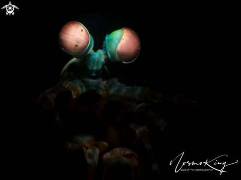 A Odontodactylus scyllarus | Clown Mantis Shrimp