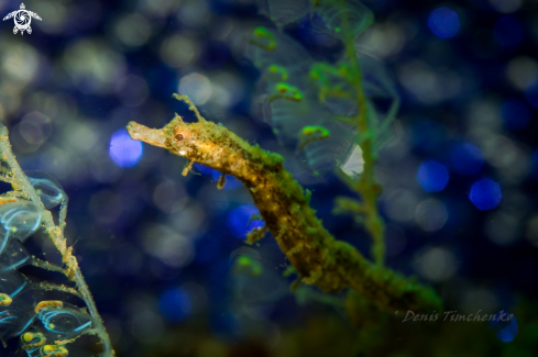A Appears to be Acentronura tentaculata (Pygmy Pipehorse) | PIPEFISH