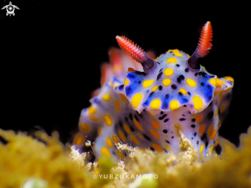 The Hypselodoris