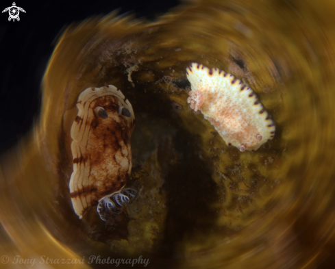 A Pancake Aphelodoris and Gold-Spotted Chromodorid