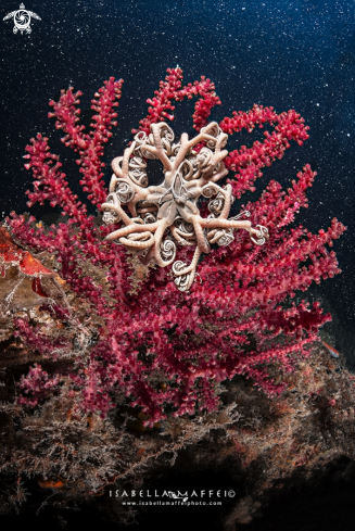 A Basket star