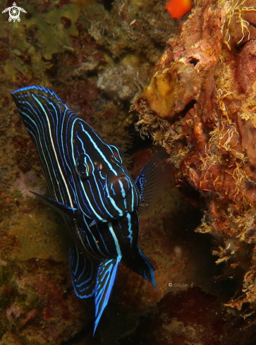 A Semicircle Angelfish