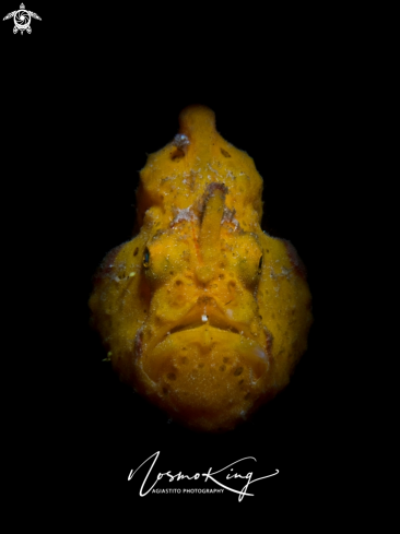 A Antennarius pictus (Shaw, 1794) | Painted Frogfish