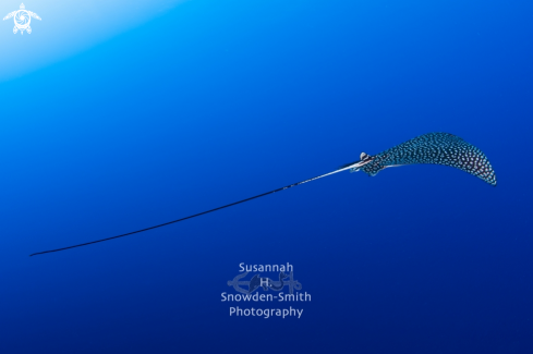 A Aetobatus narinari | Spotted Eagle Ray