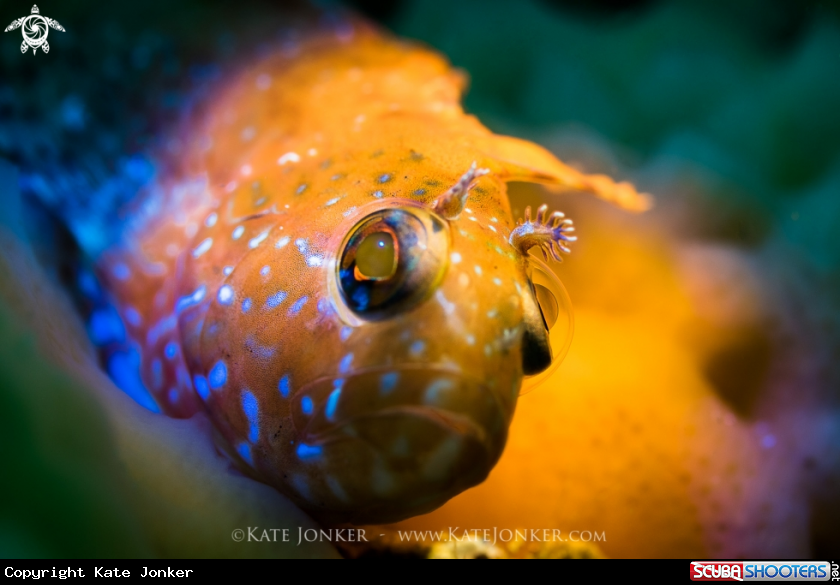 A Speckled Klipfish