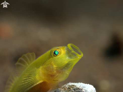 A Yellow Goby