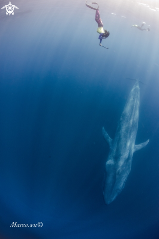 A Chase the blue whale