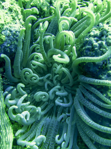 A long tentacles anemone