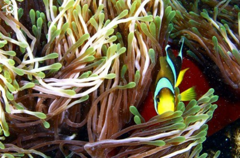 A Clownish with its Sea Anemone.Mauritius