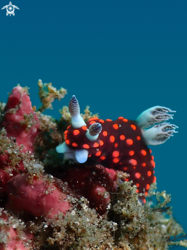 A Nembrota sp. | Nudibranch