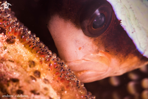 A Tomato Clownfish Tends to its Eggs