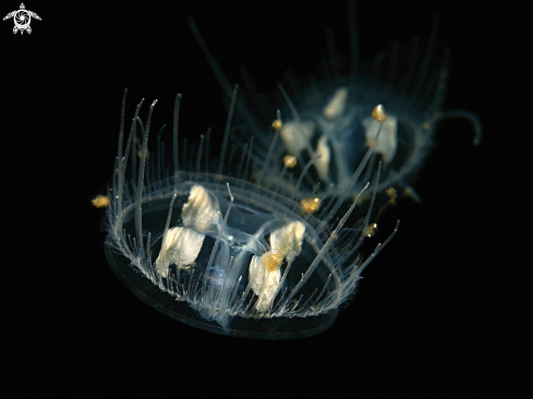 A fresh water jellyfish