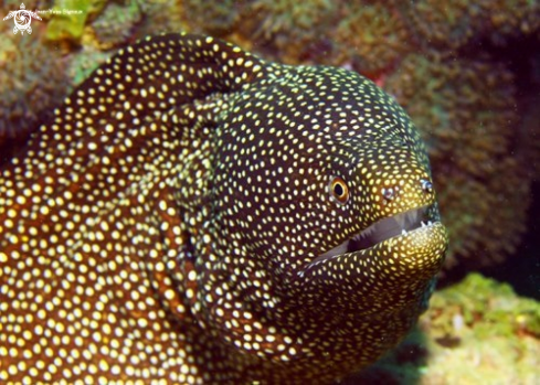 A Spotted Moray Eel Mauritius