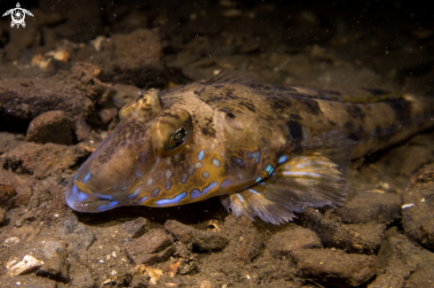 A Common Dragonet