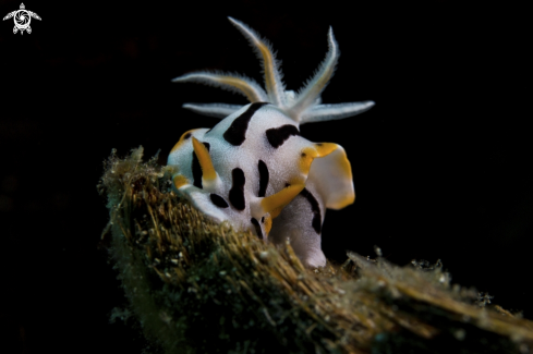 A Chromodoris Sp