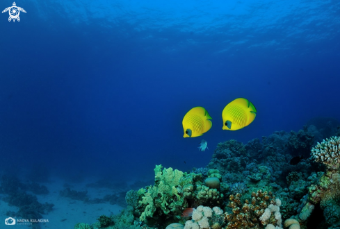 A Blue-cheeked butterfly fish
