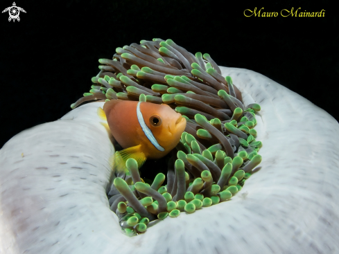 A Clownfish and anemone