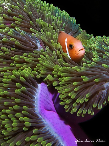 A Amphiprion nigripes | Clownfish
