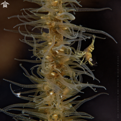 A Wire Coral Shrimp
