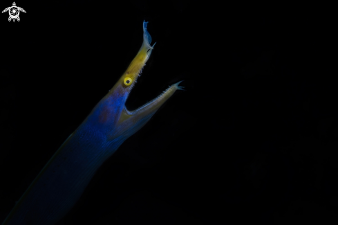 A The ribbon eel