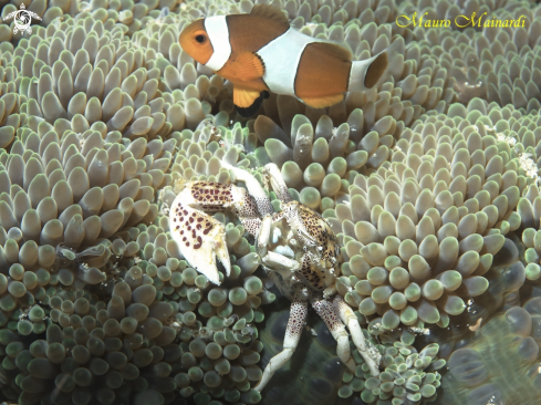 A Clownfish and porcelain crab
