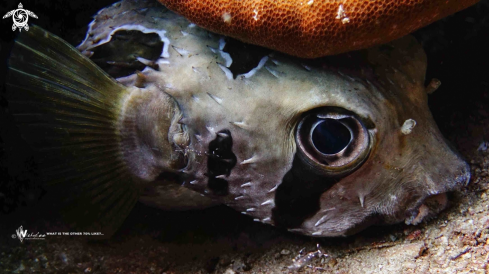A Diodontidae | Porcupinefish