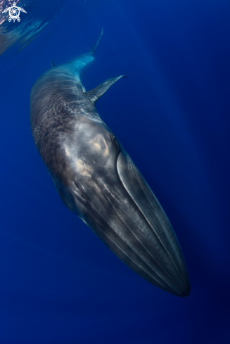 A Bryde Whale