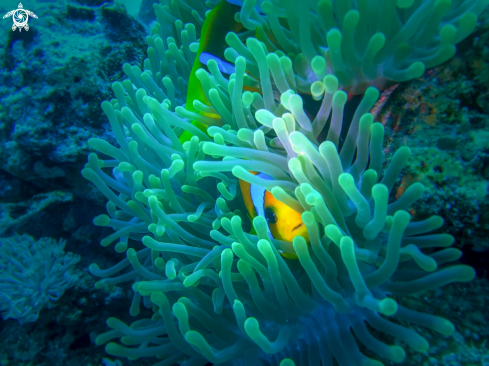 A Amphiprioninae | anemone fish