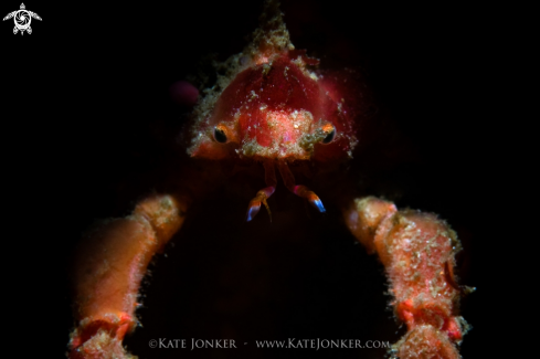 A Hotlips Spider Crab
