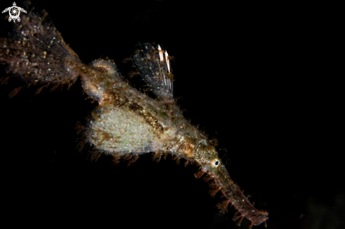 A Roughsnout ghost pipefish