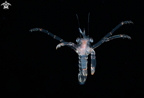 A don't know unable to identify specific species | Larval Lobster