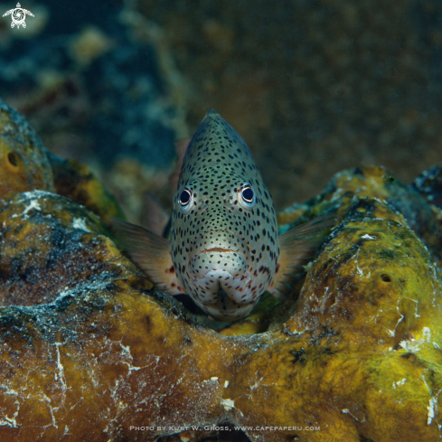 A Freckled Hawkfish