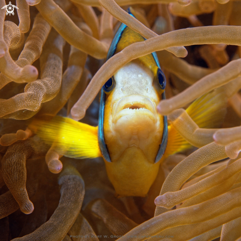 A Withe-Band Anemonefish