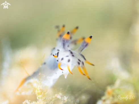 A Polycera | Nudibranch