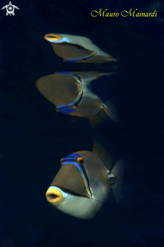A Triggerfish Picasso