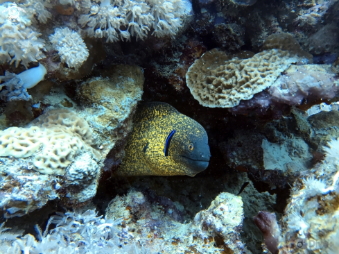 A Yellow margin moray