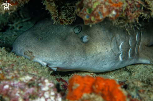 A Brown-banded Bamboo Shark
