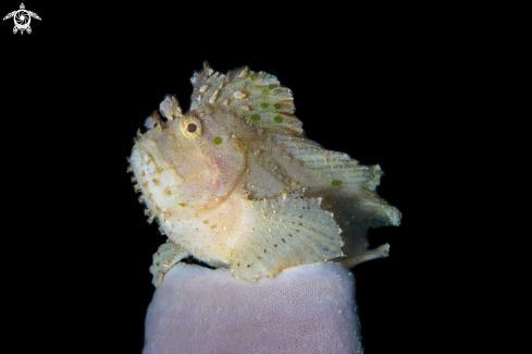 A Leaf scorpion fish