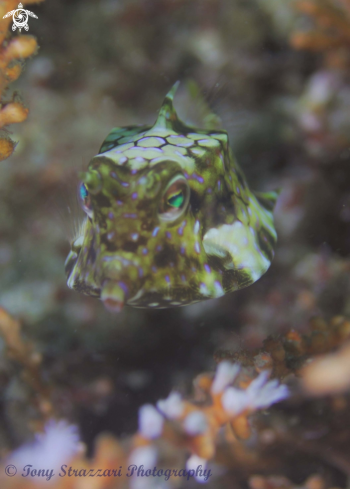 A Thorny-back cowfish