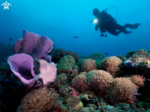 A giant frogfish with diver