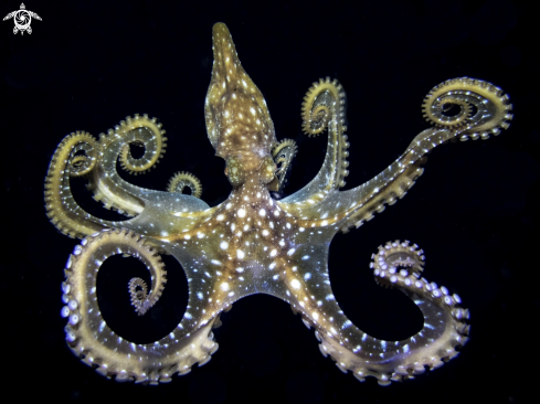 The Cephalopoda
